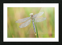 An Fire dragonfly Picture Frame print