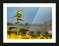 Sunflower Perch Picture Frame print