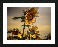 Gone with the Sunflowers Picture Frame print