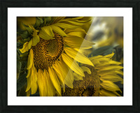 Sunflower Dawn  Picture Frame print