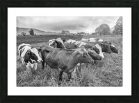 Cow Herd up Close Picture Frame print