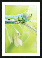 an Daphnis Nerii Picture Frame print