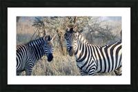 Zebras Picture Frame print