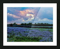 lupine sunset  Picture Frame print