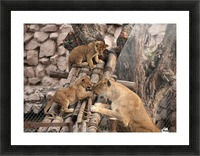 Lioness baby in Lucknow Zoo (1) Picture Frame print
