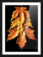 Fall Maple Leaves 1 Picture Frame print