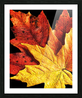 Fall Maple Leaves 2 Picture Frame print