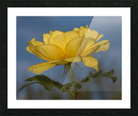 Yellow Rose Landscape Picture Frame print
