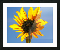 Glowing Heliopsis Picture Frame print