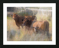 Three Cows  Picture Frame print