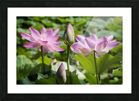 Lots bud with blooming lotus flowers behind Picture Frame print