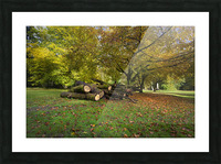 Autumn leaves and cut trees Picture Frame print