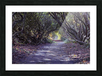 Tree lined Rhododendron walkway Picture Frame print