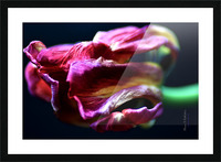 Tulip 5 Picture Frame print