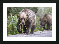 Grizzly Bear - Mouth Full Picture Frame print