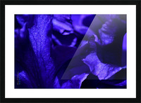 Purple Iris 1 Picture Frame print