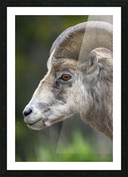5512 - Big Horn Sheep Picture Frame print