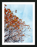 Tree branch with orange autumn leaves and blue cloudy sky Picture Frame print