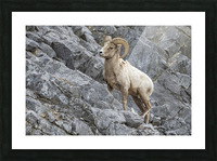 8016 - Big Horn Sheep Picture Frame print