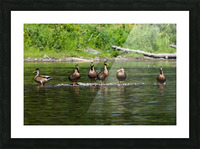 What the duck Picture Frame print