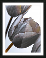 Tulip flowers on white background Picture Frame print