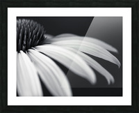 Coneflower close-up Picture Frame print