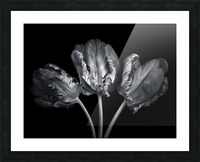 Three rococo tulips close-up Picture Frame print