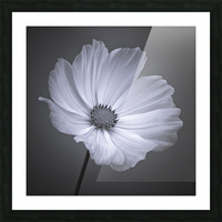 Cosmos flower Picture Frame print