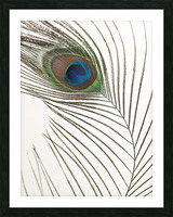 Peacock feather Picture Frame print