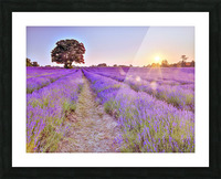 Lavender field at sunset Picture Frame print