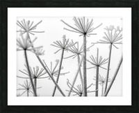 Frosty cow parsley Picture Frame print