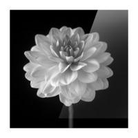 Dahlia flower on black background Picture Frame print