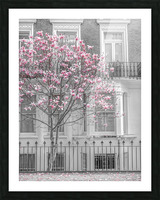 Magnolia tree outside house in London Picture Frame print