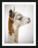Close-up of Alpaca Picture Frame print