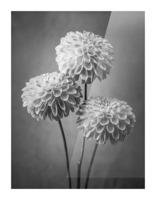 Three Dahlia flowers Picture Frame print