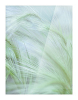 Wild grass Foxtail Barley Picture Frame print