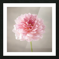 Dahlia flower on colored background Picture Frame print