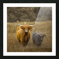 Highland Cows Picture Frame print