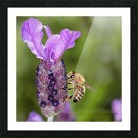 Bee On Lavender Picture Frame print