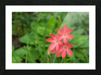 Three Bold Pink River Lily Blooms - Exotic South African Beauties in a Garden Picture Frame print
