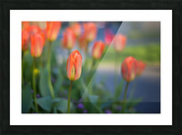 Tulips For You Picture Frame print