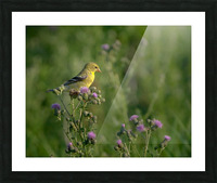 Goldfinch Female Picture Frame print