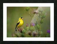Goldfinch Male Picture Frame print