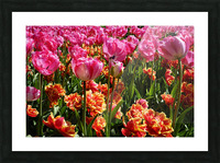 Tulips of the Netherlands 3 of 7 Picture Frame print