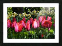 Tulips of the Netherlands 4 of 7 Picture Frame print