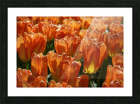 Spring Blooms of Holland 4 of 8 Picture Frame print