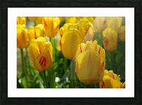 Spring Blooms of Holland 1 of 8 Picture Frame print