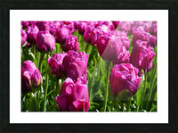 Tulips of the Netherlands 7 of 7 Picture Frame print