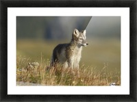 Arctic Fox Puppie by Karen Kolbeck  Picture Frame print