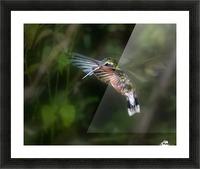 Hummingbird 1B by Leigh Pelton  Picture Frame print